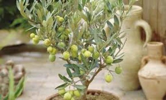 оливковое масло для волос кожи лица