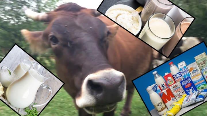 лактовегетарианство корова