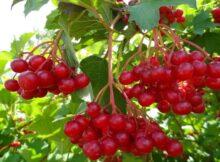 Калина: полезные свойства, применение, рецепты, противопоказания и польза ягоды. Как употреблять калину для молодости и здоровья