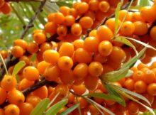 Масло облепихи ― что скрывает желтая ягода, полезные свойства и противопоказания, как приготовить и принимать для красоты и молодости